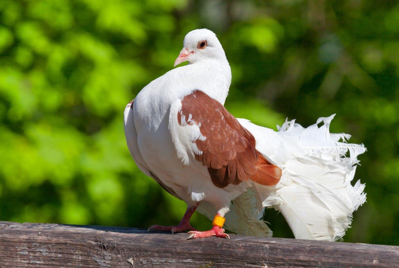 EM Probiotyk w hodowli gołębi i drobiu ozdobnego